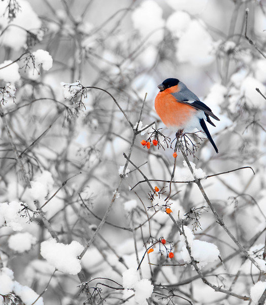 Bullfinch in snow