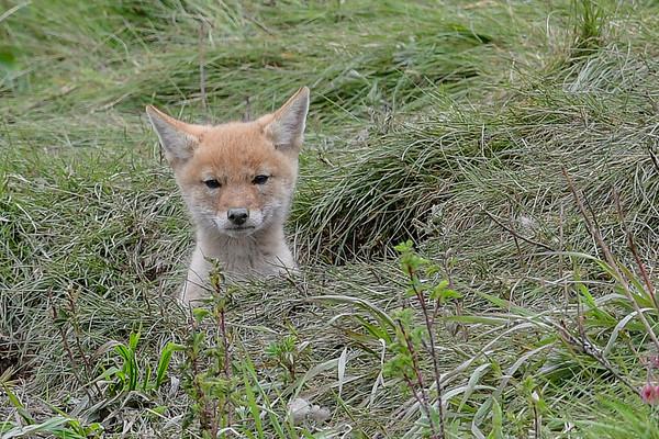 6-1-16 *^Coyote Pups