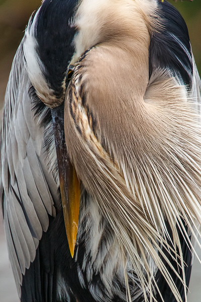Sleepy Heron