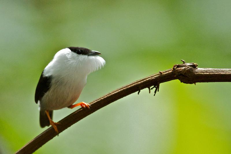 White-bearded Manakin, Manacus manacus trinitatis