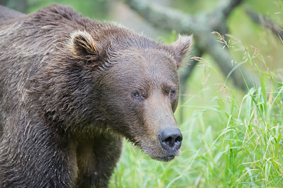 Alaska Brown Bear 2012