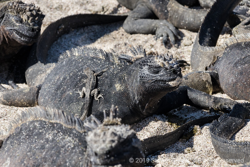 Galapagos lizard sunning itself on a marine iguana that is warming itself before feeding in the cold water.