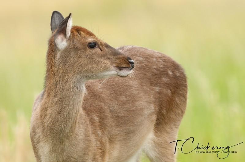Sika Elk Four-1558299452457.jpg
