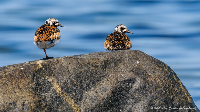 Stenvender (Arenaria interpres - Ruddy Turnstone)