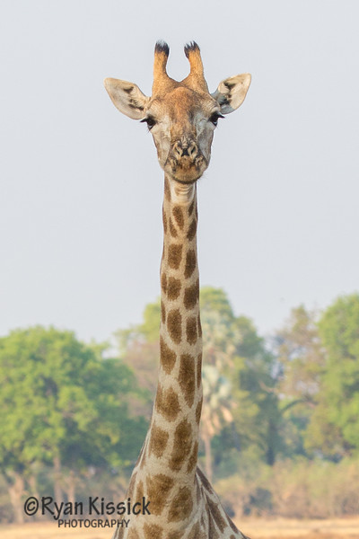 How are giraffes real?