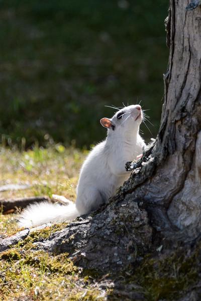20150522-Brevard-White-Squirrel-Festival-128.jpg