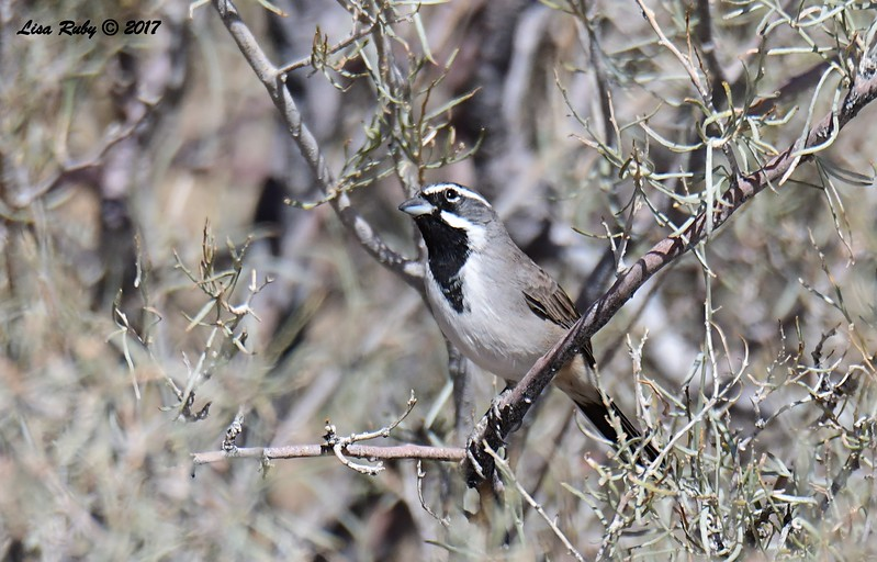 Black-throated Sparrow - 9/17/2017 - Anza Borrego Desert State Park Visitor's Center