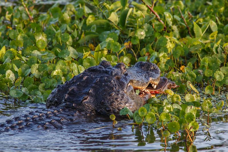 Feeding Alligator
