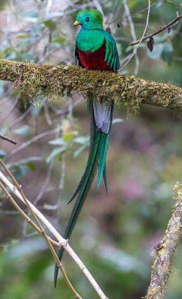 Resplendent Quetzal, male