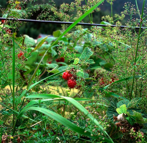 norwegianraspberries.jpg