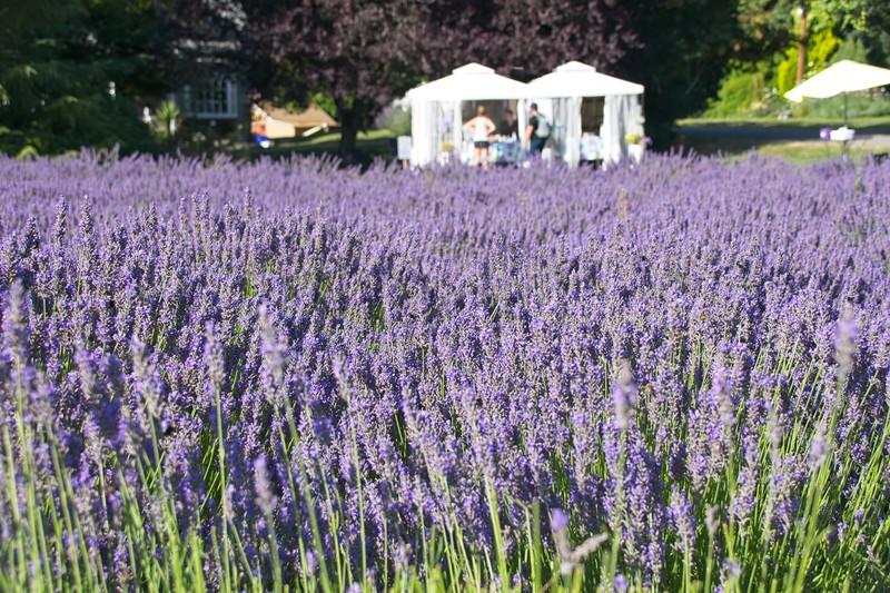 Columbia View Lavender Farm, Corbett.
