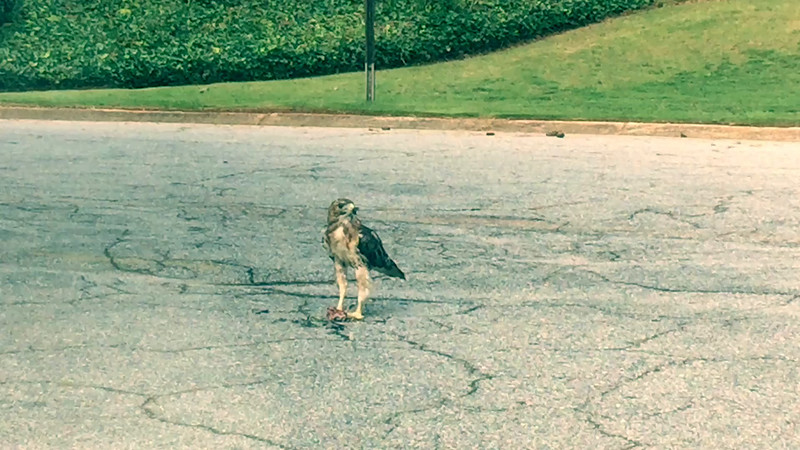 Atlanta Hawk Eating Lunch