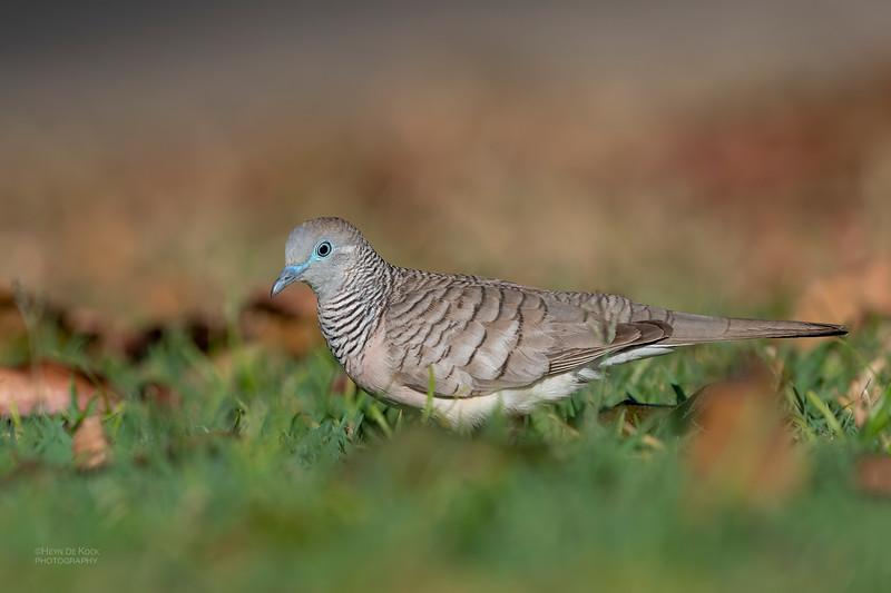Peacful Dove, Cairns, QLD, Aug 2020-1.jpg