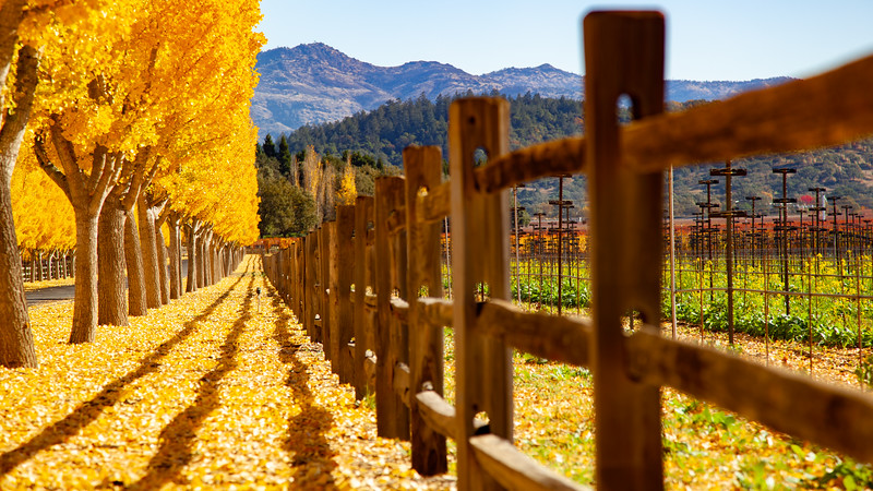 Golden Trees - Napa Valley Fall