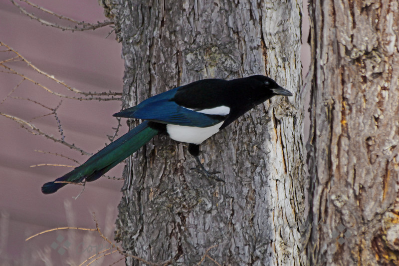 """Black-billed Magpie ~ This magpie was photographed in Edmonton, Alberta, Canada.  They are a very common bird in the city, seen in parks, residential neighborhoods, even in the city streets.  This view shows the beautiful irridescent colors in his """"black"""" feathers."""