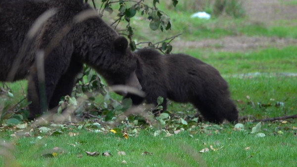 9-23-18 Video Grizzly Mom & Cub - In Apple tree -iMovie