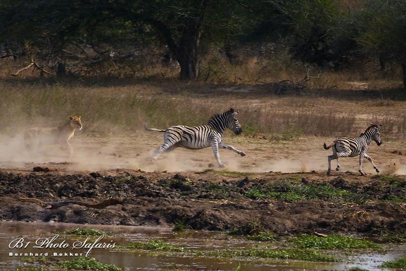Lioness Chasing Zebra