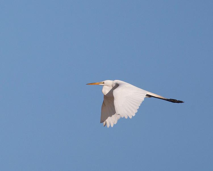 egret-2018-11.jpg