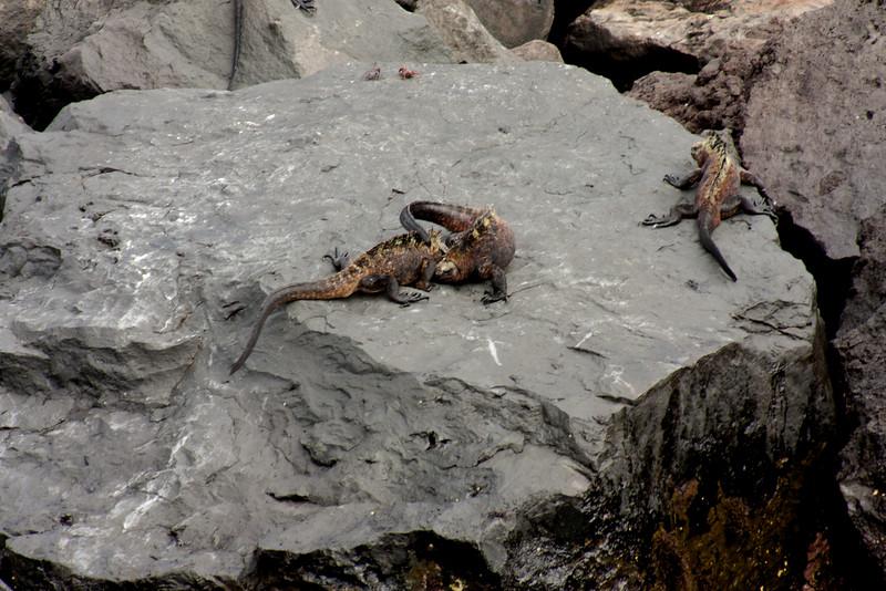 Fighting Marine Iguanas : Journey into Genovesa Island in the Galapagos Archipelago