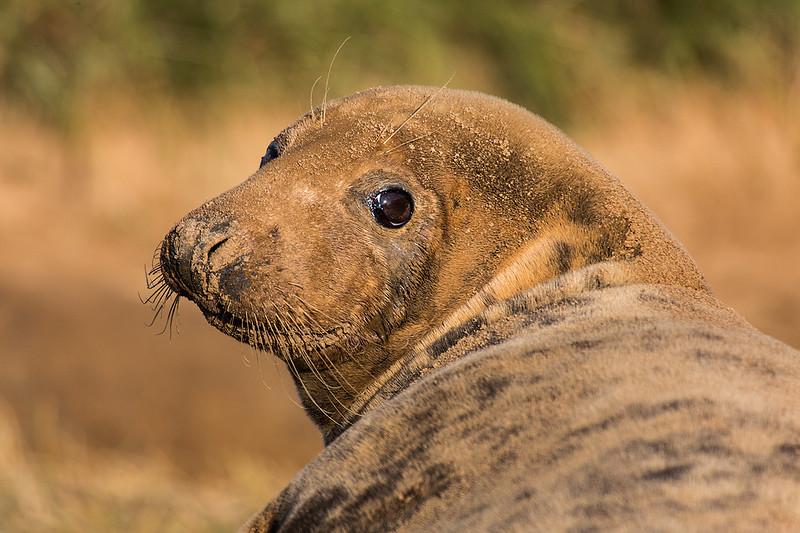Female Grey Seal