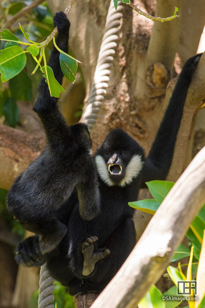 "17 month old ""Nhu"" playing with dad, White-Cheeked Gibbon (Hylobates leucogenys)"