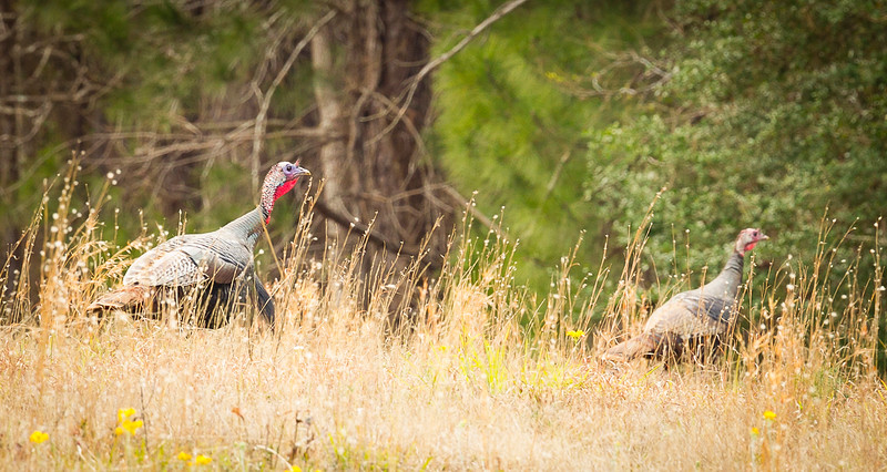 Turkey3_L8E3354Turkeys_2016.jpg