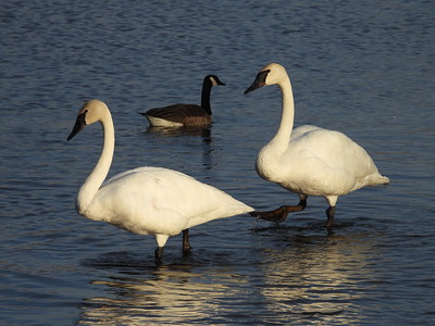 20210331 Swans & Geese