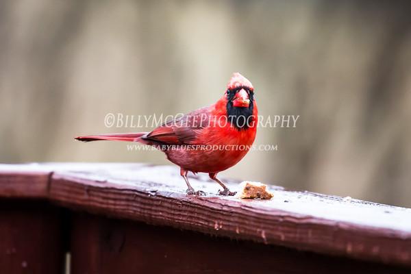 Cardinals Calling - 14 Mar 2015