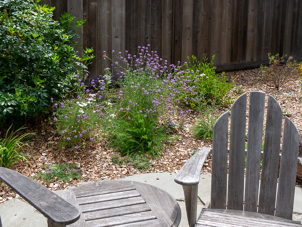 29 June 2017.  Around the corner of the patio, the Verbena / yarrow mix is doing nicely.  There's a weaker plant behind the chair, but it's coming back.   Note the thin Ceanothus behind.  I think it will make it but it dropped lots of leaves this year.