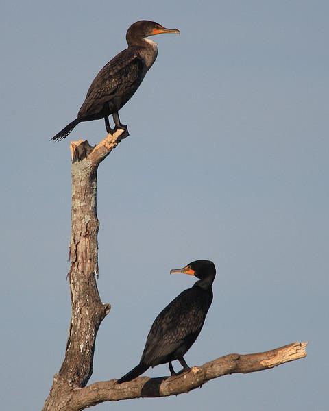 Cormorant at Savannah Wildlife Refuge