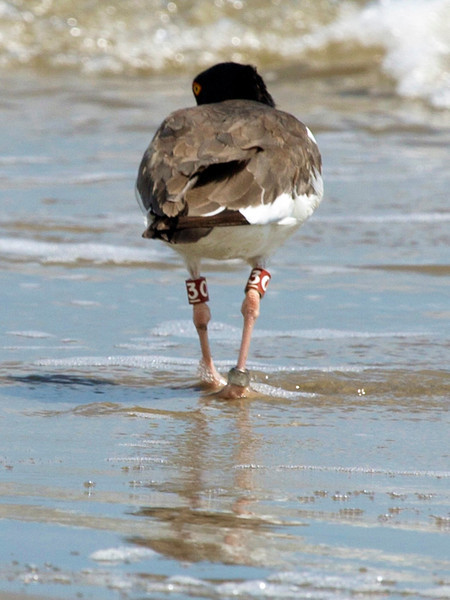 Another Oyster Catcher, with a different band, walks away from us.