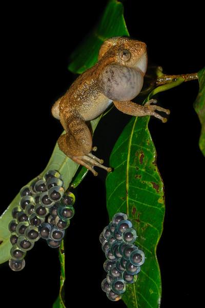 Night-frog-guarding-egg-clutch-1.jpg