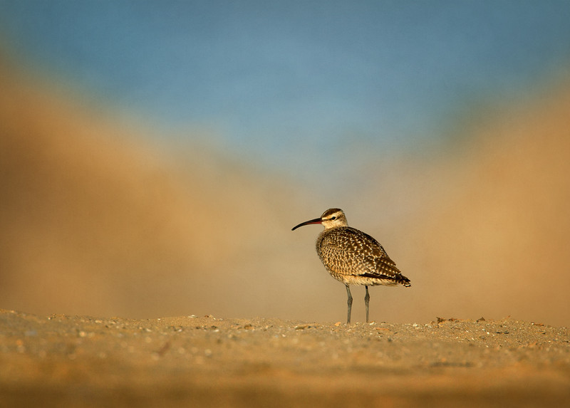 Whimbrel in a Sand Storm?