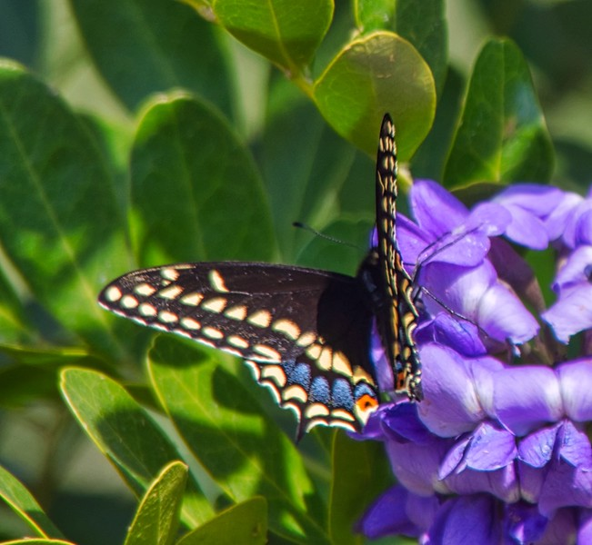 +2018-03050201 Mountain Laurel Blooms & Butterfly – Version 2