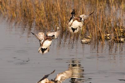 Back Bay Ducks - December 2013