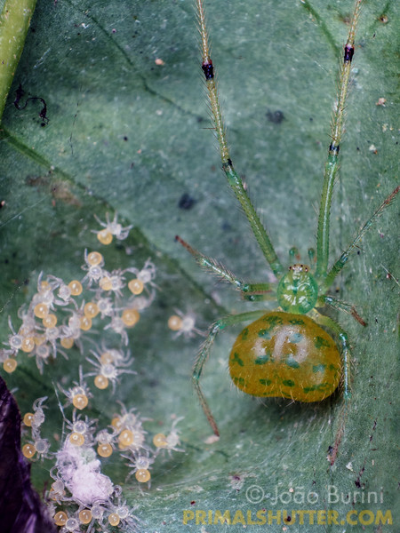 Green tangle web spider with spiderlings