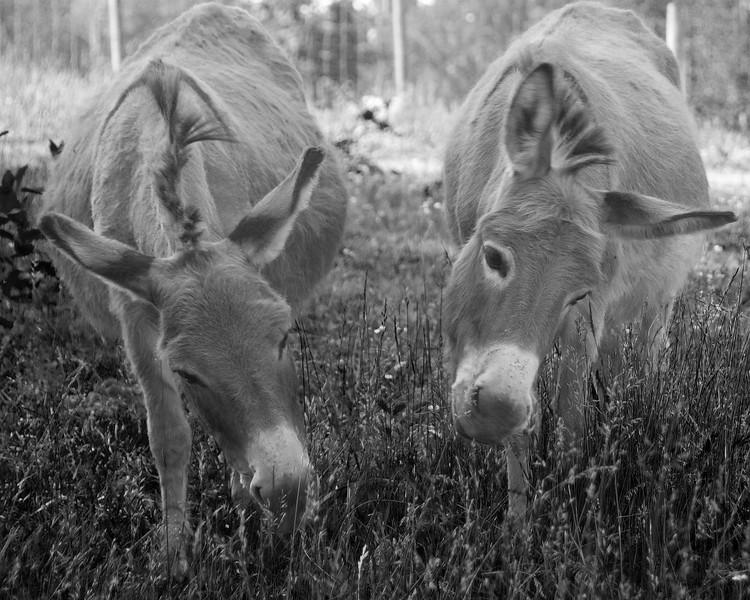 donkeys bw.jpg