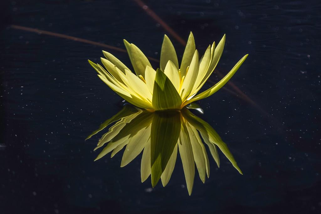 莲花,水上倒影
