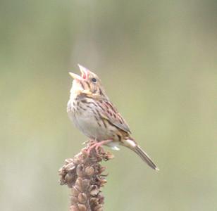 2015 Henslow's Sparrow Plus - IBSP North