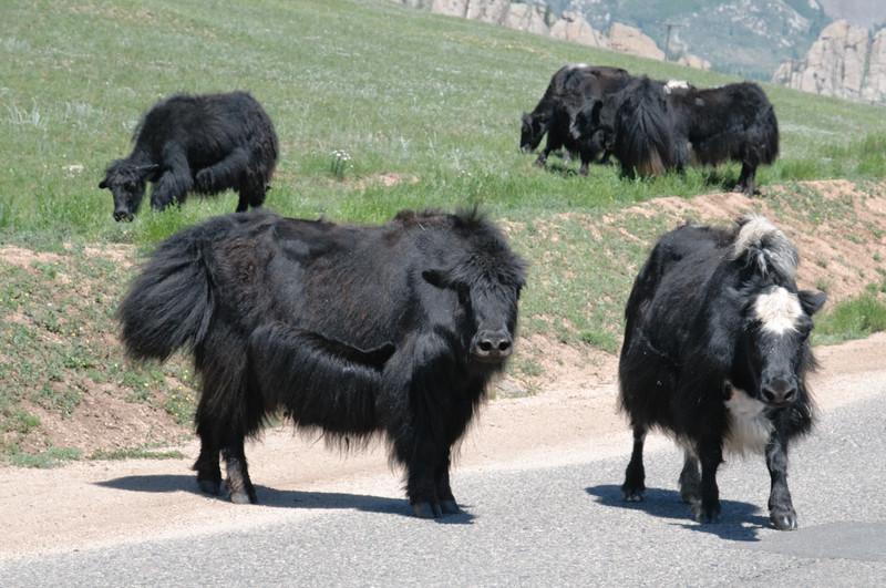 Yaks versperren uns den Weg.