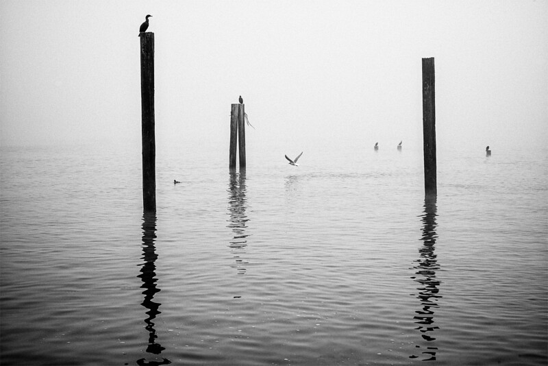 Cormorants and seagulls sitting on top of pilings on a foggy morning at Alki beach