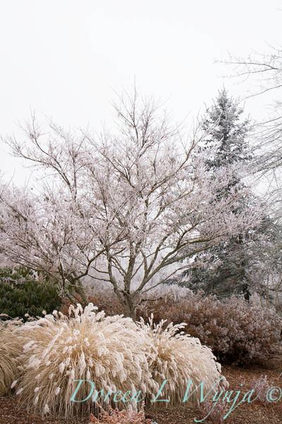 Pennisetum alopecuroides 'Hameln' - frost_9217.jpg