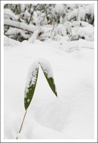 Bamboo in the snow.