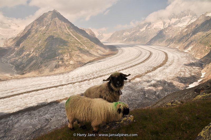 Aletsch glacier & Valaisian Black Nose Sheep