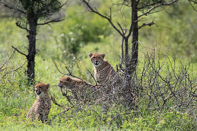 Cheetah 1702259067.jpg