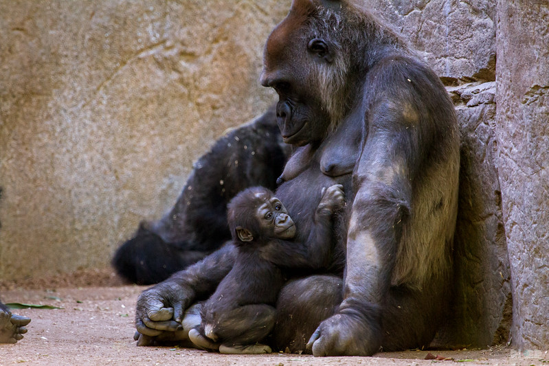 baby gorilla color 002.jpg