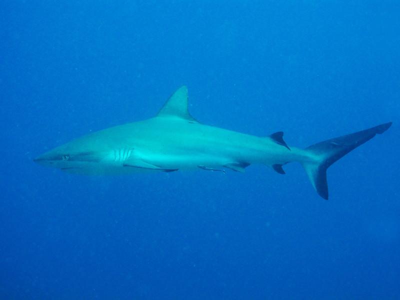 Scuba diving at Great Barrier reef - grey reef shark