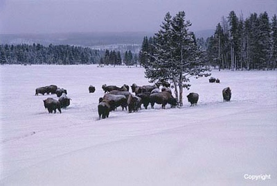 Yellowstone NP  WY   winter and summer