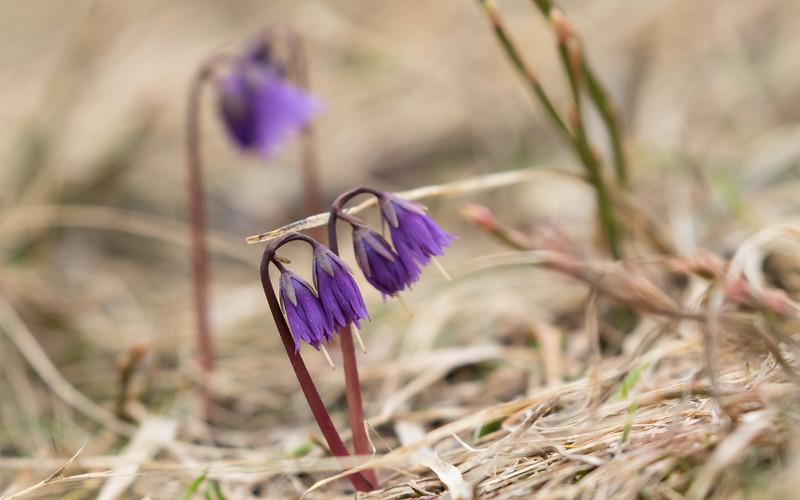 grand veymont, soldanella alpina
