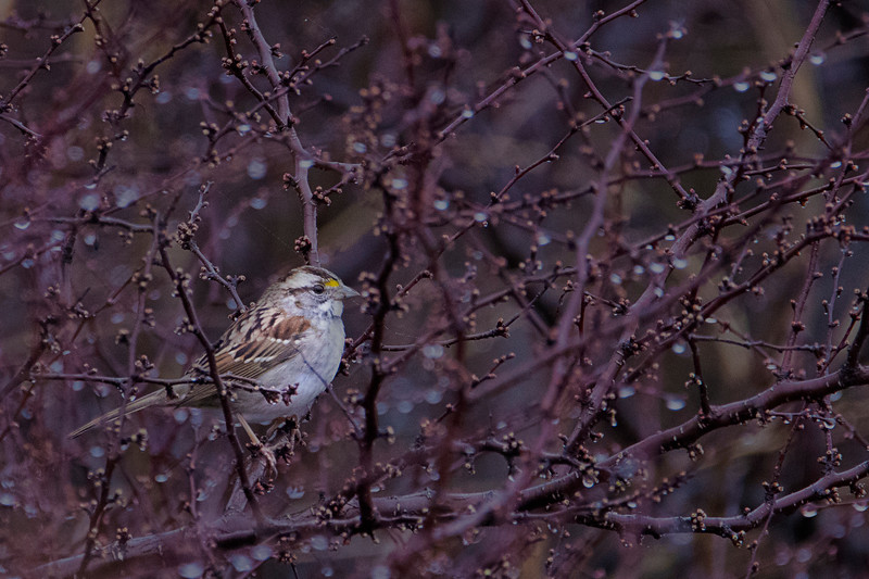 2.26.18 - Blackburn Creek Fish Nursery: White-throated Sparrow